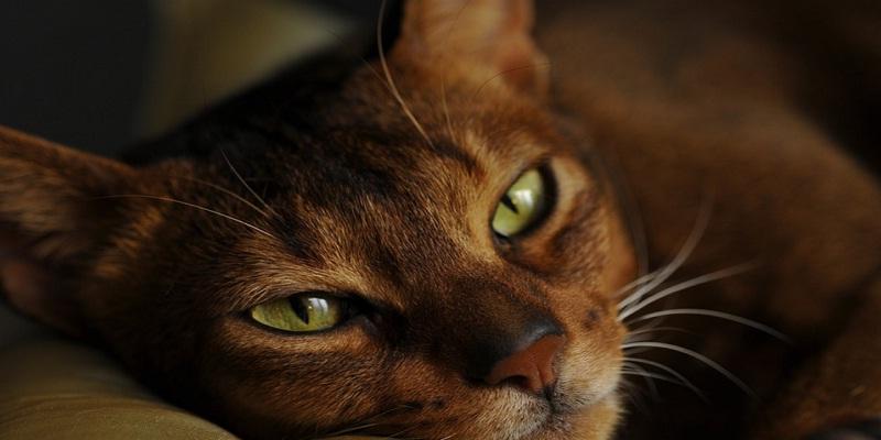 Аббісинська кішка-характеристика породи