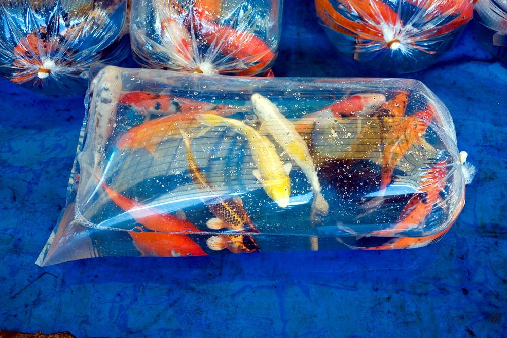 Як правильно запустити нових рибок в акваріум