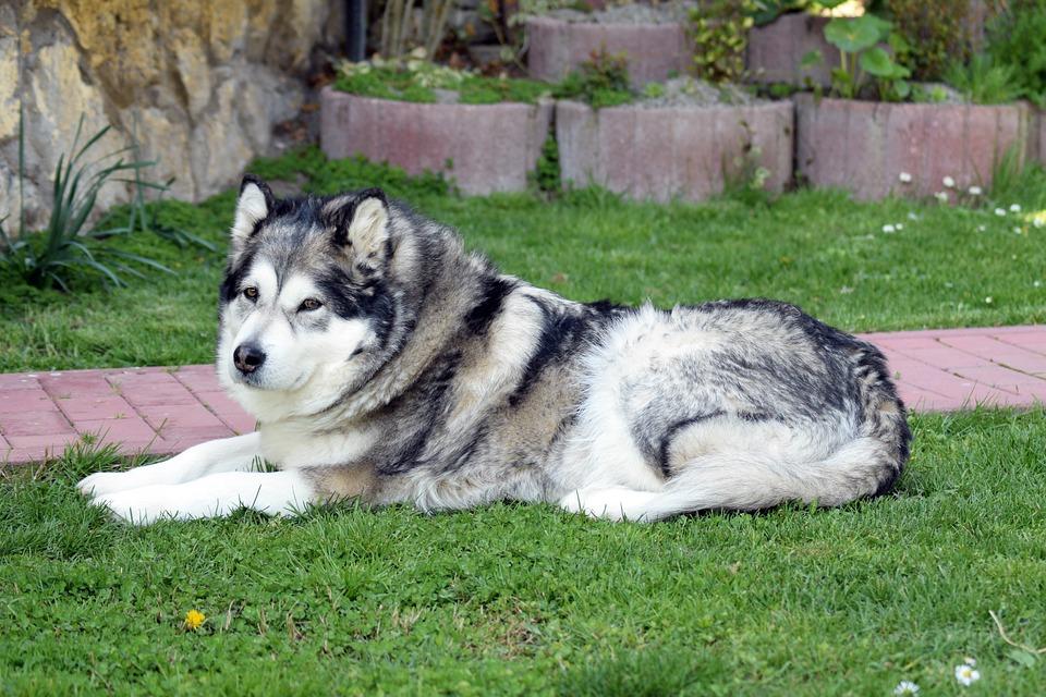 Аляскинський маламут: особливості породи та виховання