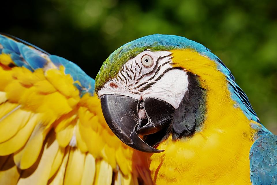 Як навчити папугу розмовляти