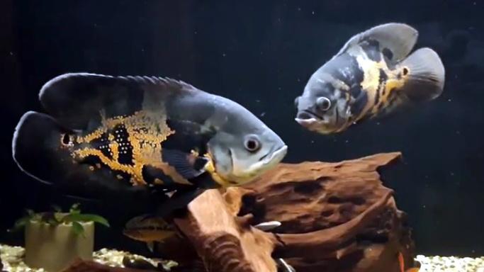 Астронотус – рибка з інтелектом, яка впізнає господаря