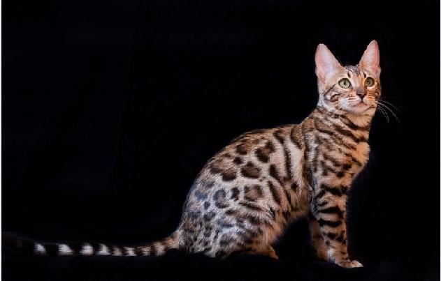 Бенгальський кіт: історія та догляд