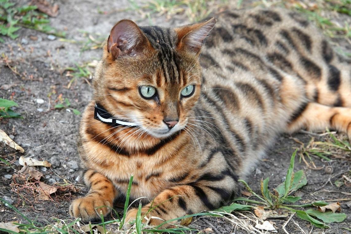 Бенгальський кіт. Історія походження та цікаві факти