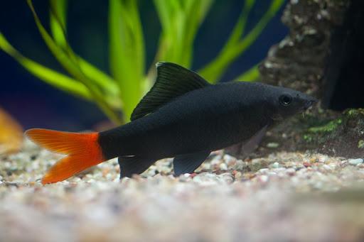 Рибка лабео: умови утримання та сумісність