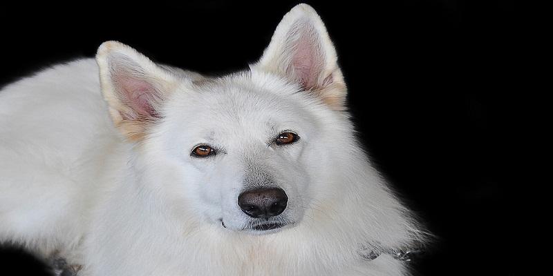 Особливості догляду за білою шерстю собак