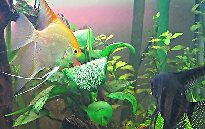breeding_angelfish.jpg (27.34 Kb)