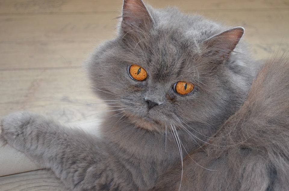 Британська довгошерстна кішка: опис та догляд породи