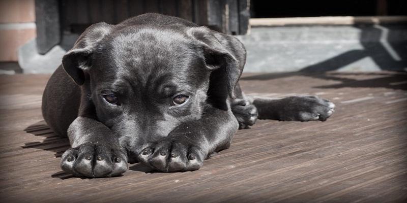 Кане Корсо. Дресирування собаки