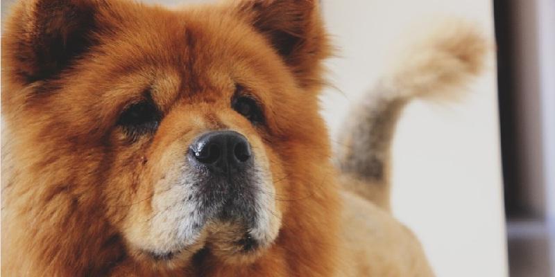 Історія породи собак Чау Чау та догляд за ними