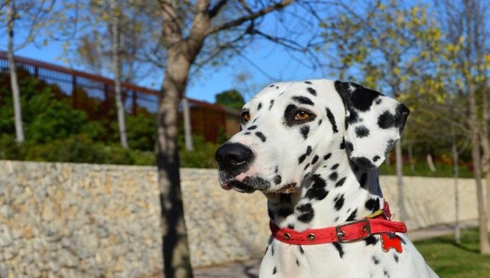 Далматин - цікаві факти про собаку