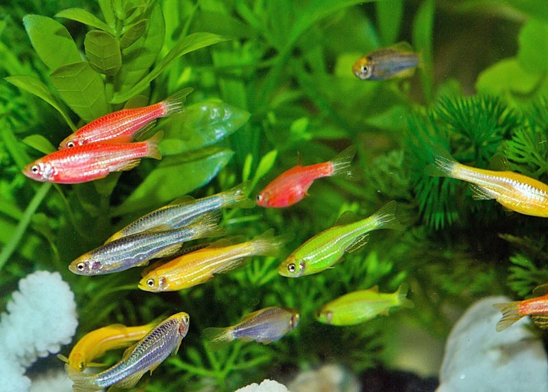 Витривалі рибки Даніо. Умови утримання та розведення