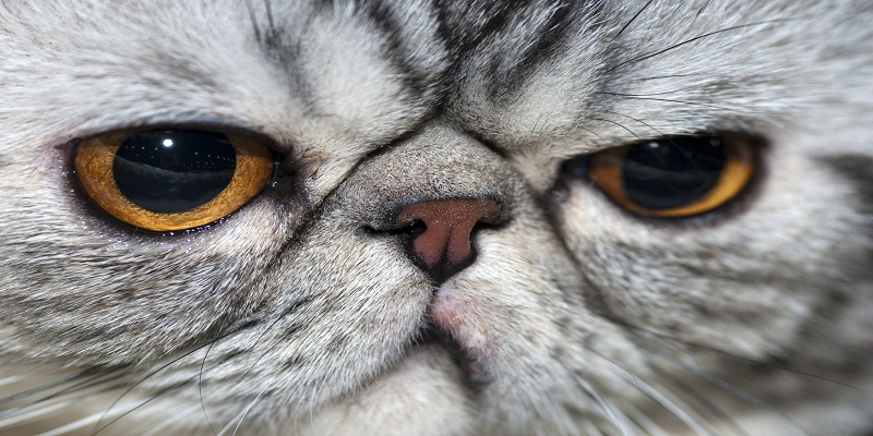 Екзотична короткошерстна кішка-особливості породи
