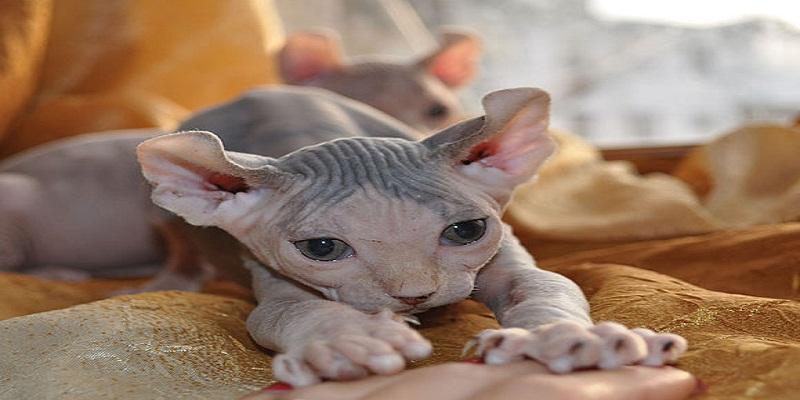 Кішка Ельф - особливості породи