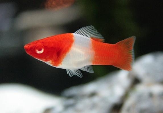 fish2.jpg (45.9 Kb)