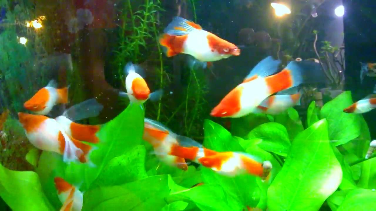 Мечоносець санта клаус – різдвяно-новорічна рибка