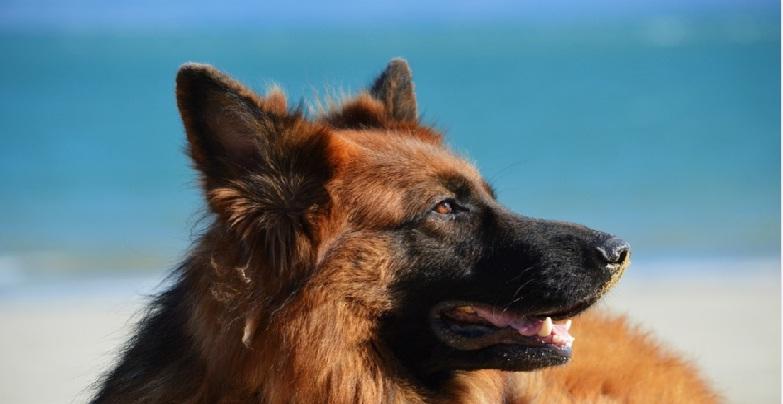 Німецька вівчарка - історія походження та догляд за собакою
