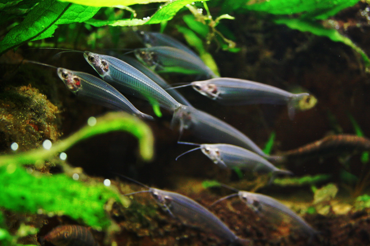 Сом скляний. Умови утримання риби-привида