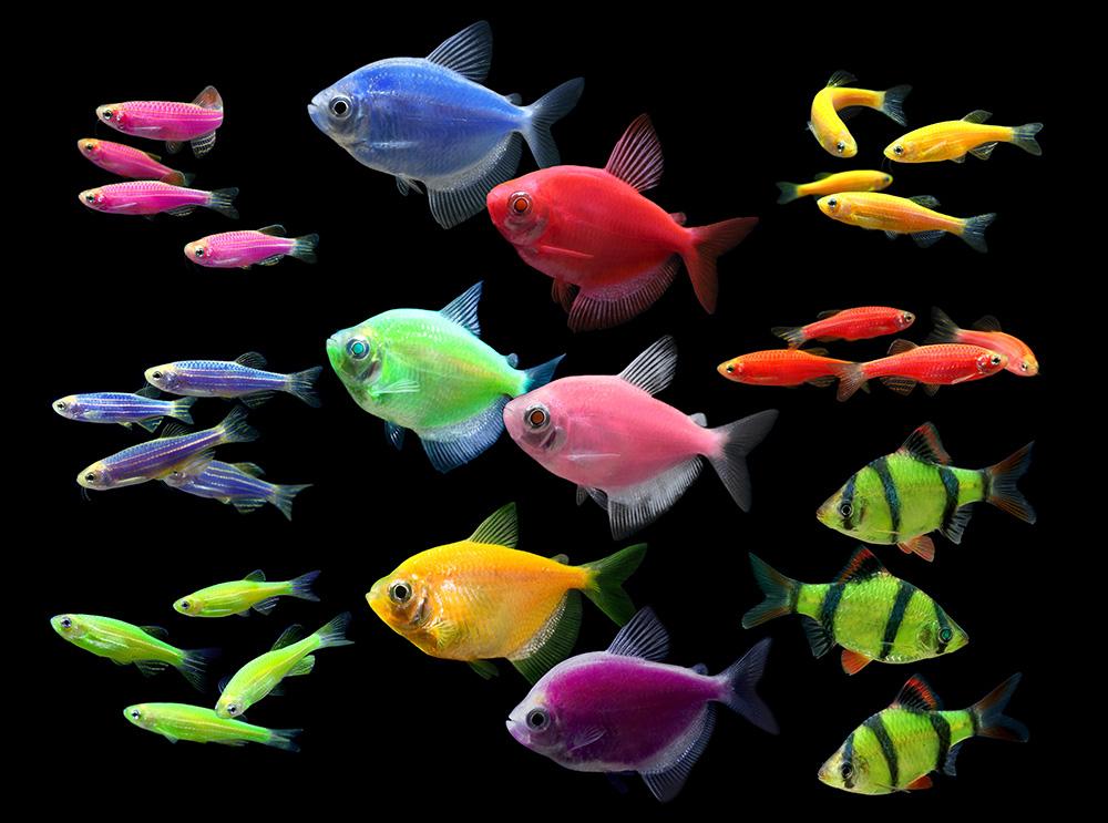 Рибки, що світяться – глофіш (GloFish)