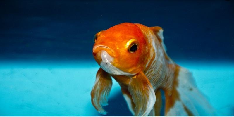 Золота рибка: історія та догляд