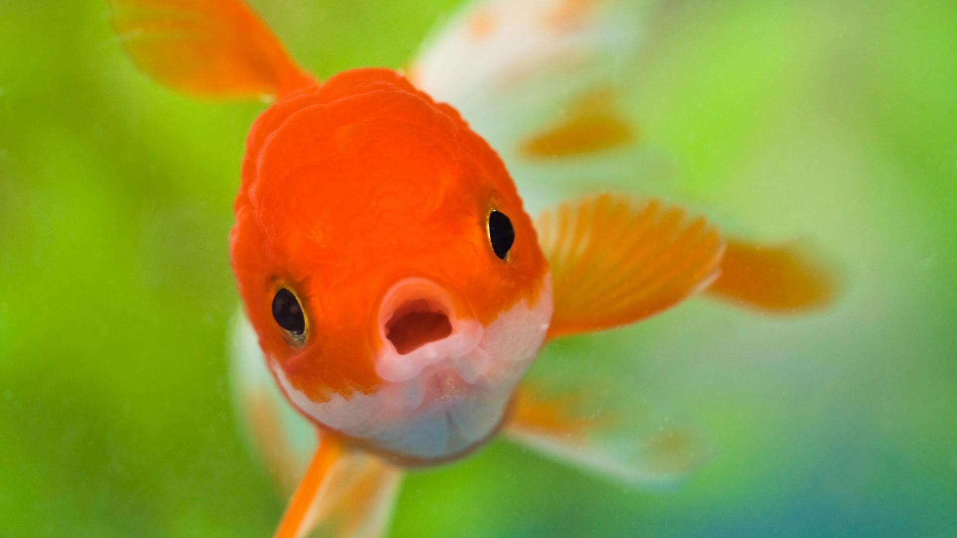 Цікаві факти про золотих рибок