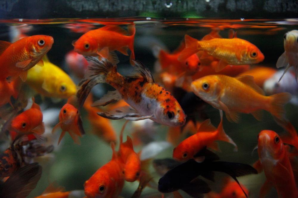 Топ-6 невибагливих акваріумних рибок