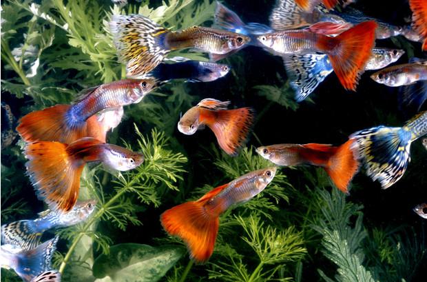 Догляд за рибками гуппі
