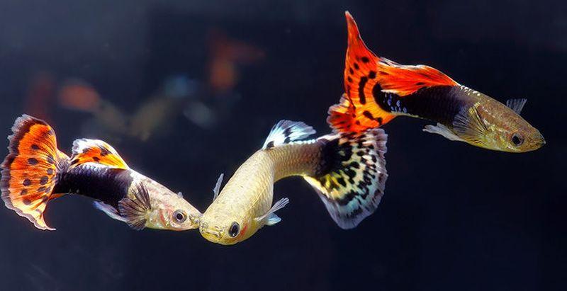 Цікаві факти про рибок гуппі
