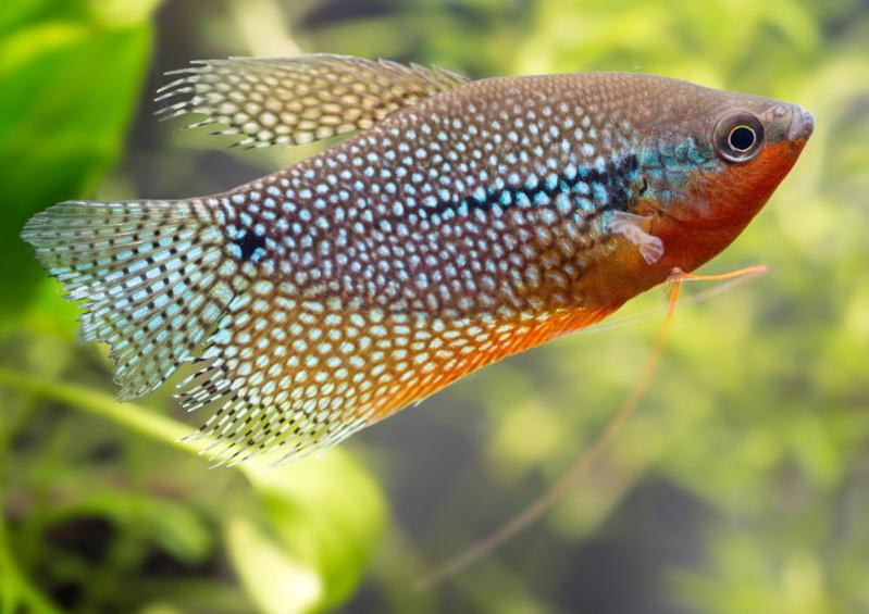 Лабіринтова рибка гурамі. Умови утримання та особливості