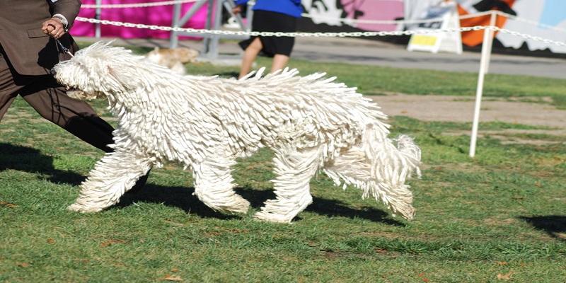 Комондор або Венгерська вівчарка. Характеристика породи