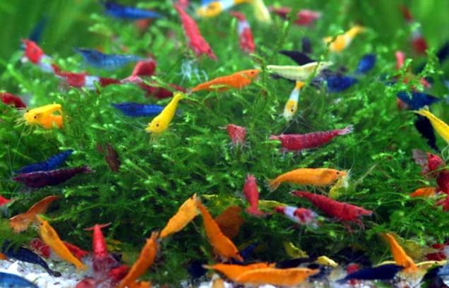 Креветки в акваріумі. Різновиди та особливості утримання