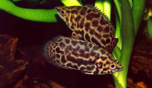 Ктенопома леопардова – розумний та обережний хижак-мисливець