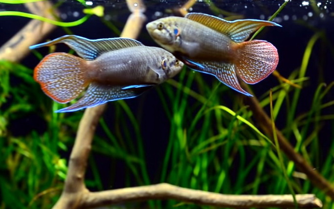 «Райська рибка» макропод