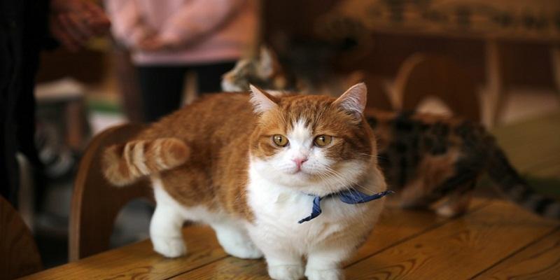 Манчкін догляд та утримання кішки