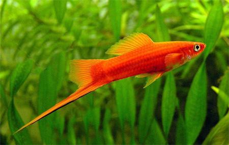 Рибки мечоносці: умови утримання та цікаві особливості