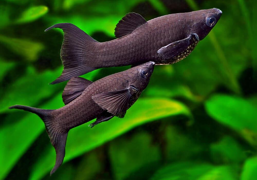 Молінезії: різновиди та умови утримання рибок