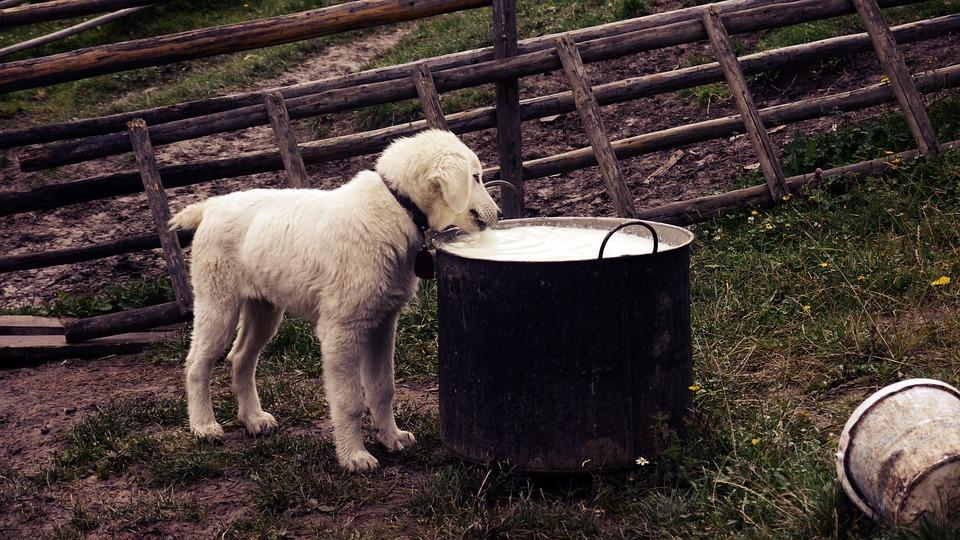 Молочні продукти для собак: шкода чи користь?