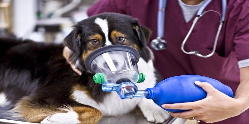 Набряк легенів у собак