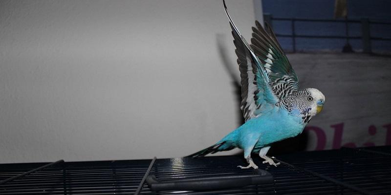 Умови утримання та історія походження хвилястого папуги