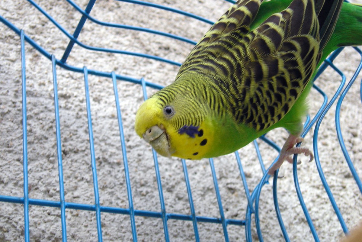 Як доглядати за папугами: важливі поради