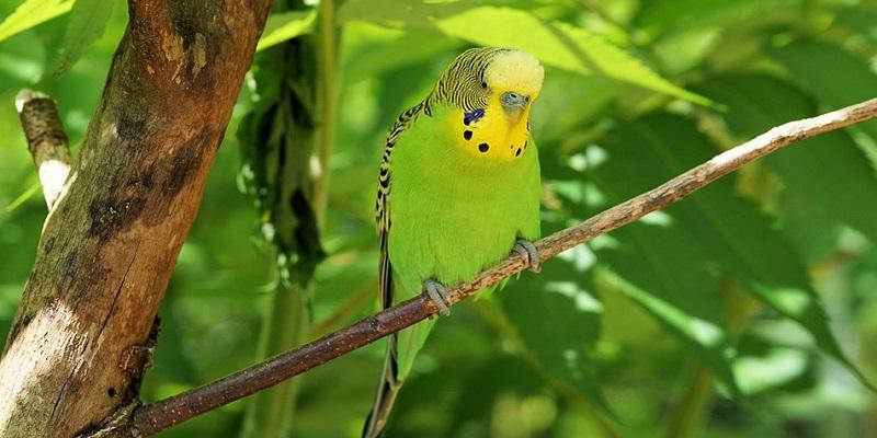 Хвилясті папуги. Вигляд та годівля