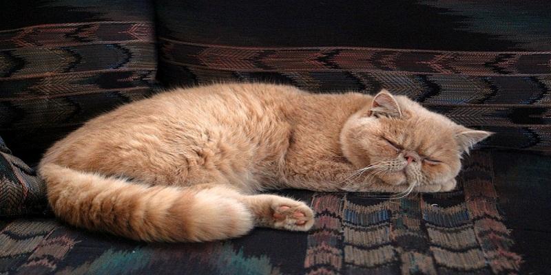 Персидський кіт - історія та догляд