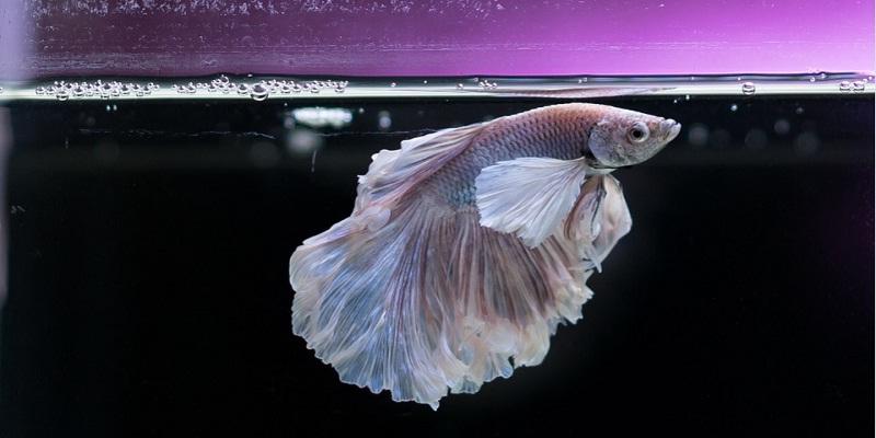 Рибка Півник. Цікаві факти про незвичної краси рибку