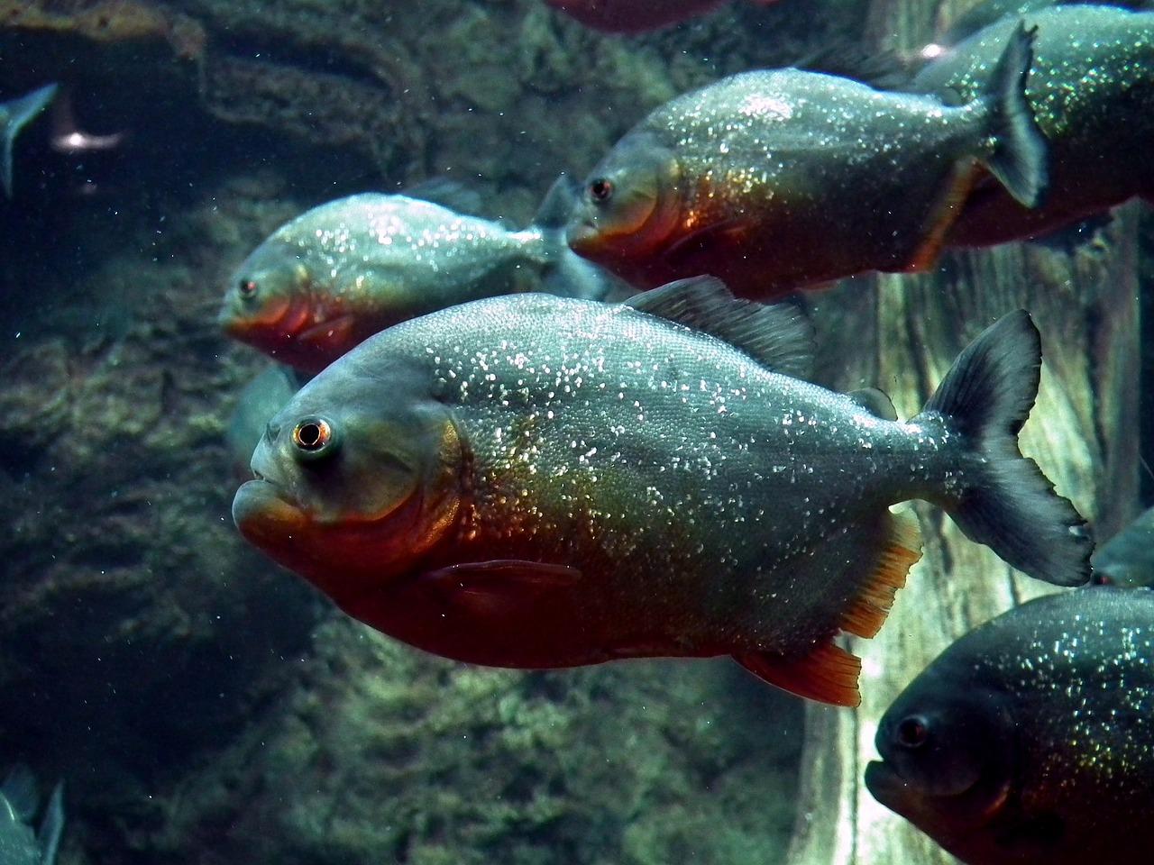 Піранії в акваріумі: небезпечні, але полохливі хижаки