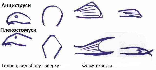 pleco-ancistrus.jpg (40.15 Kb)
