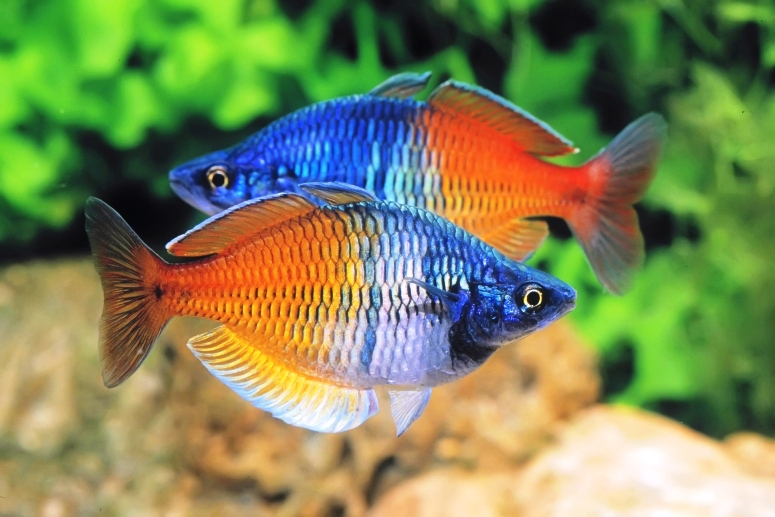 Райдужниці. Особливості утримання рибки кольорів веселки