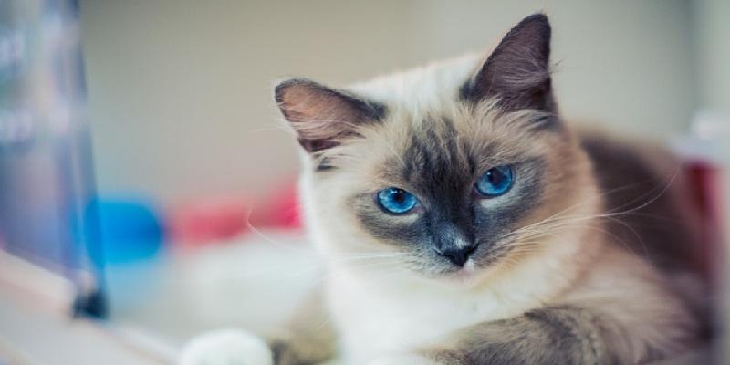 Коти породи «Ragdoll»: історія, характер, догляд