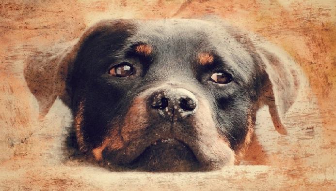 Ротвейлер: історія та догляд за собакою