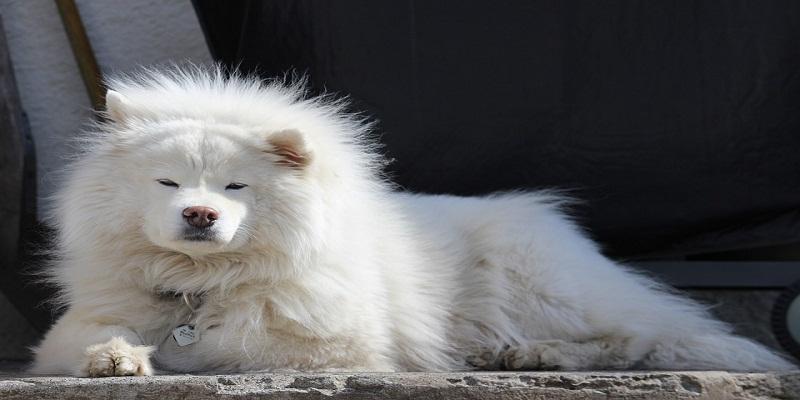 Особливості дресирування собаки самоїд (самоїдська лайка)
