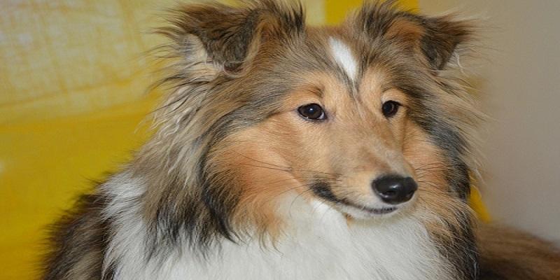 Шелті догляд та утримання собаки