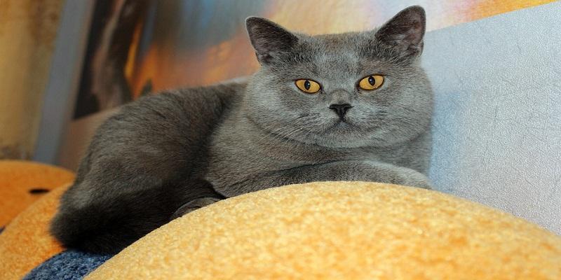 Шотландська прямовуха (Скотіш страйт) кішка